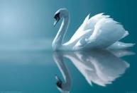 reflective swan